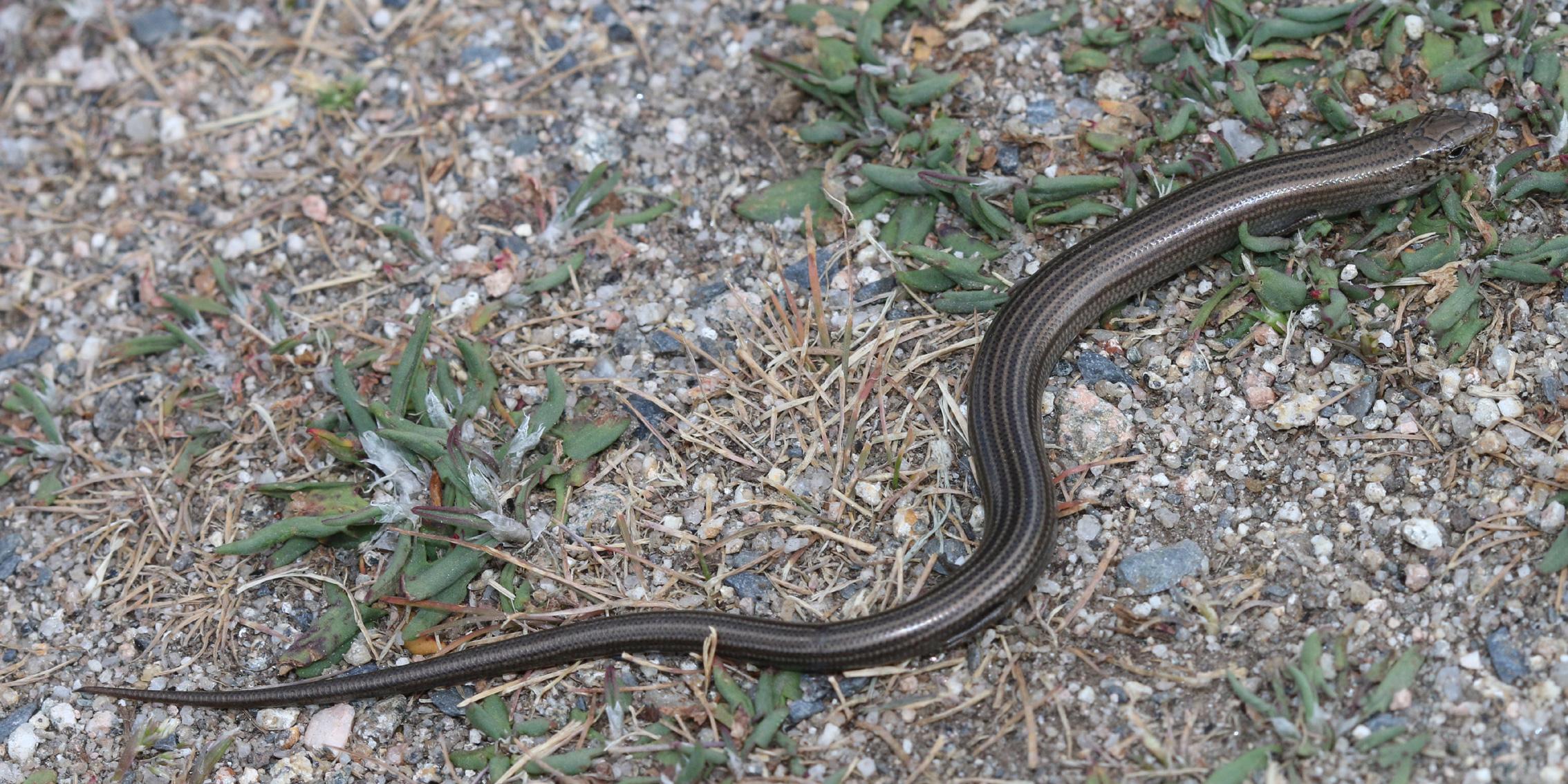 Rettili elenco delle specie italiane veleno serpenti for Nomi di rettili