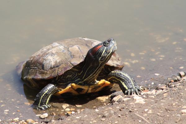tartaruga americana trachemys scripta astolinto